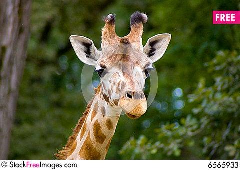 Free Giraffe Stock Photos - 6565933