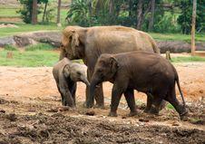 Free Asian Elephant Royalty Free Stock Photo - 6560395