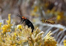 Yellow Jacket And Desert Blister Beetle Royalty Free Stock Image