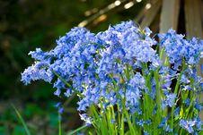 Free Bluebells Stock Image - 6560421
