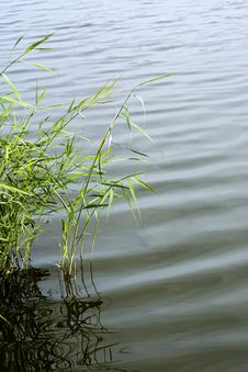 Free Reed In A Lake Stock Photography - 6560662