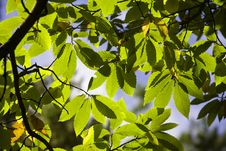 Free Chestnut Tree Royalty Free Stock Image - 6561416