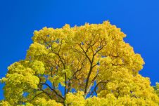 Free Golden Maple Branches Stock Image - 6561701