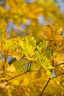 Free Golden Autumn Oak Branch Stock Photos - 6561713
