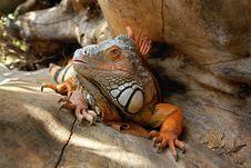 Free Iguana Stock Photos - 6561773