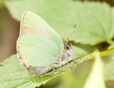 Free Small Green Copper-butterfly Stock Images - 6561834