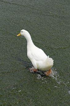 Free White Duck2 Royalty Free Stock Photo - 6562515
