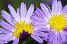 Free Daisy With Dew Royalty Free Stock Image - 6563416