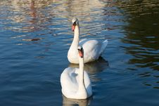 Free Pair Of Swans Stock Photography - 6563782