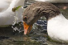Free White And Brown Goose Drinking Water Stock Photography - 6564372