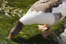 Free White And Brown Goose Drinking Water Stock Photos - 6564463