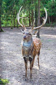 Spotted Deer Male Stock Photos