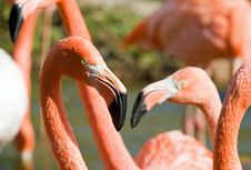 Free Flamingo Royalty Free Stock Image - 6564576