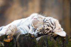 Free White Tiger Stock Photos - 6564703