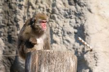 Free Japanese Macaque Royalty Free Stock Photos - 6564938