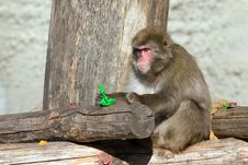 Free Japanese Macaque Stock Photo - 6564960