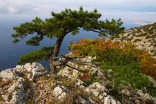 Free Bizarre Pine Tree Stock Image - 6565001