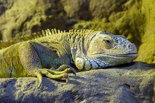 Free Iguana Stock Photos - 6565343
