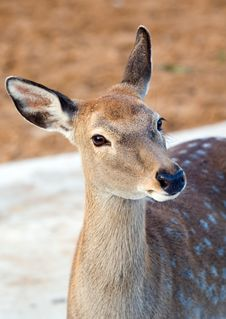 Free Spotty Deer Royalty Free Stock Images - 6565359