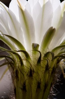 Free Cactus Flower Close-up Royalty Free Stock Photography - 6565777