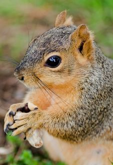 Squirrel With Peanut Royalty Free Stock Images