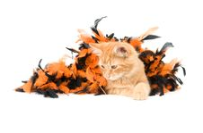Free Kitten And Halloween Decoration Royalty Free Stock Photography - 6566997