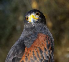Free Harris Hawk Portrait Royalty Free Stock Images - 6567459
