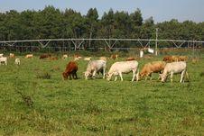 Free Cows Stock Photos - 6567553