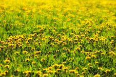 Free Dandelion Meadow Royalty Free Stock Photos - 6568328