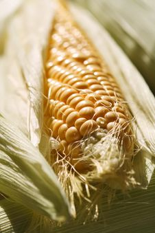 Fresh Corncob Sweetcorn With Leaves Stock Images