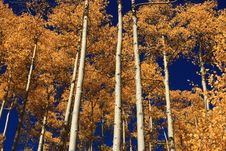 Free Aspen Grove Royalty Free Stock Image - 6569386