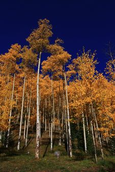 Free Tall Aspens Stock Images - 6569394