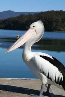 Free Pelican Stare Royalty Free Stock Photo - 6569975