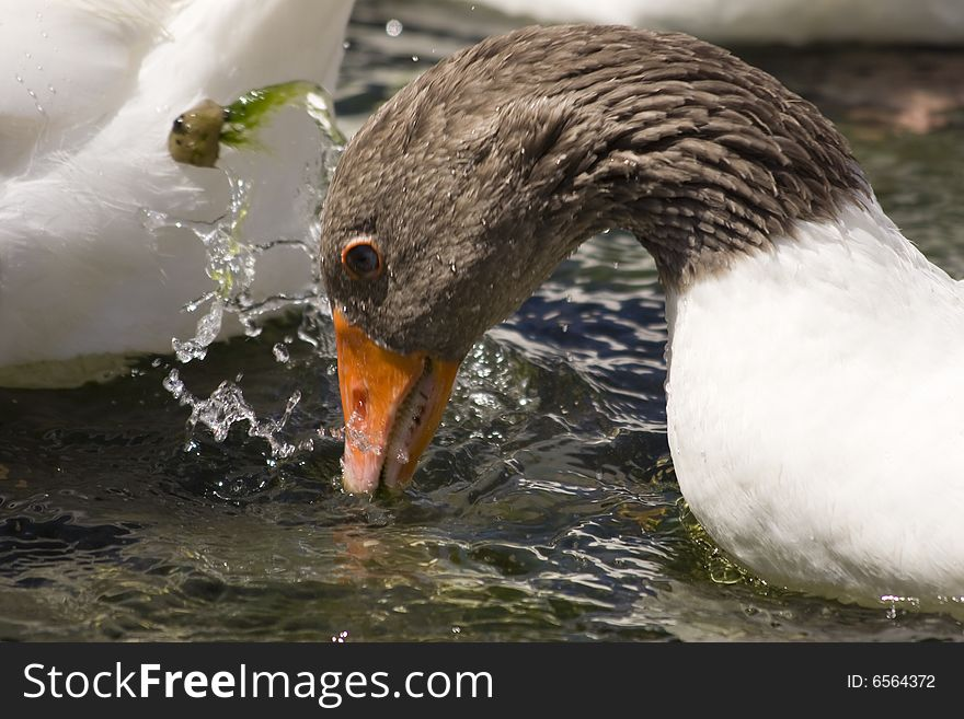 White and brown goose drinking water
