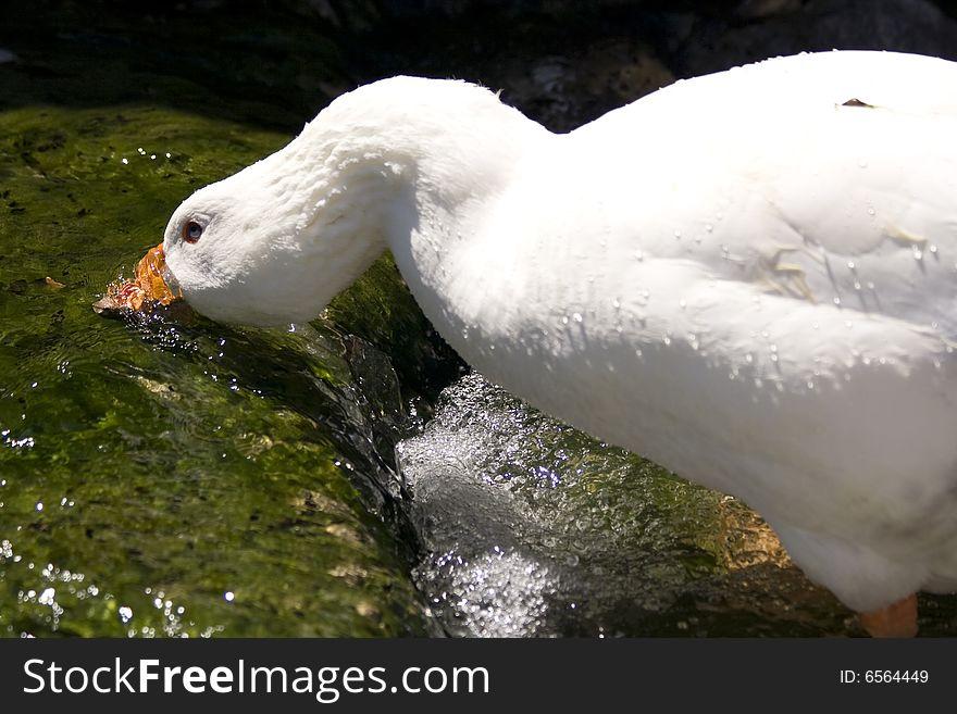 White goose drinking water