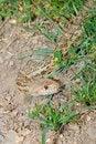 Free California  Gopher Snake Stock Photo - 6570790