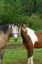 Free Horse Couple Stock Image - 6574461