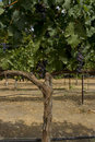 Free Grape Tree Stock Image - 6575561