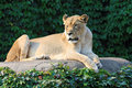 Free Female Lion Enjoying The Morning Sun Stock Images - 6576774