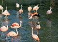 Free Flock Of Pink Flamingos Stock Photo - 6576900