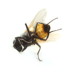 Free Dead Fly Macro Royalty Free Stock Photo - 6570565
