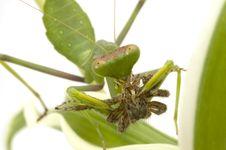 Free Mantis Hunting Isolated On White Royalty Free Stock Image - 6570566