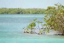 Mangrove, Caye Caulker, Belize Stock Image