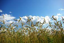 Free Wheats Spike Stock Image - 6571511