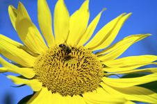 Free Sunflower Royalty Free Stock Photography - 6572217