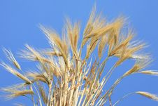 Free Wheat Stems. Royalty Free Stock Photography - 6573097