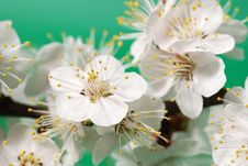 Free Blossoming Branch Of A Tree Stock Photo - 6573220