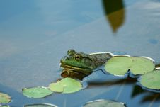 Green Bullfrog In A Pond Stock Photos