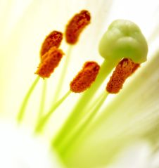 Free Lilly  Flower Closeup Stock Images - 6574934