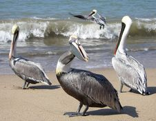 Free Pelicans Stock Photo - 6575100